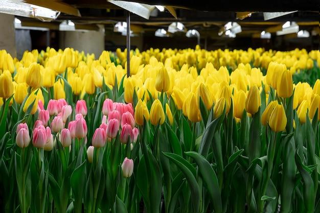 Cultivo de tulipas em uma estufa.