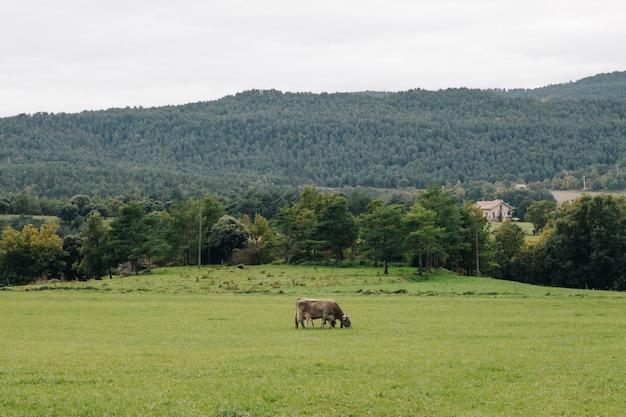 Cultivo de vaca sozinho em um terraço de grama verde na zona rural