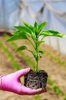Cultivo de vegetais. plantar mudas de pimentão no solo. ecologia. agricultura orgânica. agricultura.