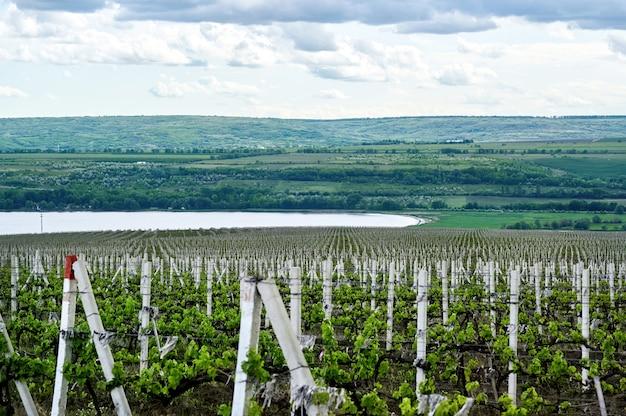 Cultivo de vinhedos na moldávia