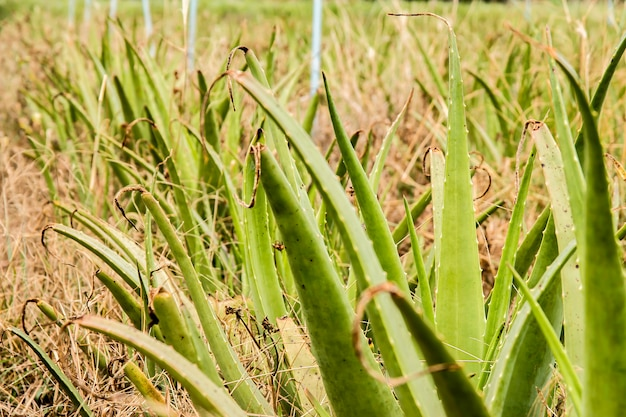 Cultivo do aloés vera em tailândia.