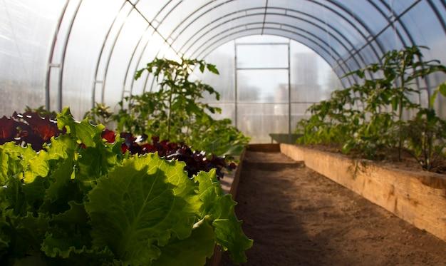 Cultivo orgânico de alface, vegetais em estufa sem fertilizantes químicos