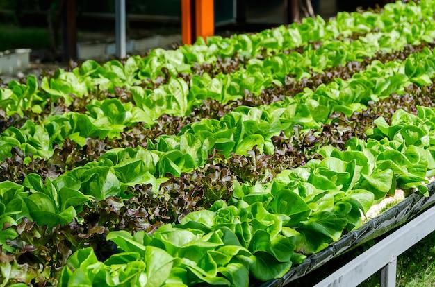 Cultivo orgânico diferentes tipos de alface