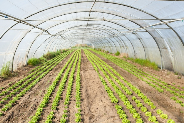 Cultura de salada orgânica em estufas