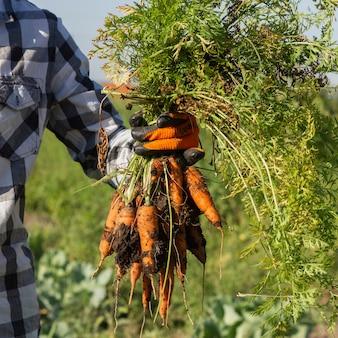 Cultura fresca de colheita de cenouras na fazenda