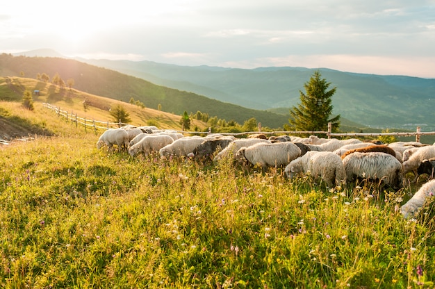 Cume da montanha com ovelhas ao pôr do sol.