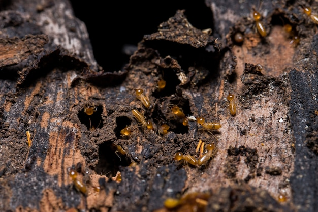 Cupim comendo madeira