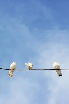 Curiosa pomba branca rodeada de irmãos indiferentes.