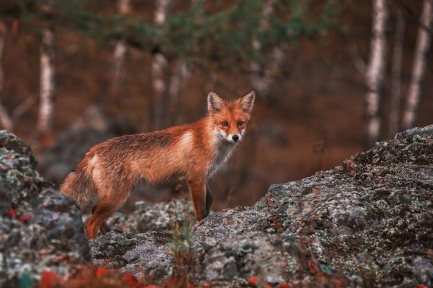 Curiosa raposa vermelha em seu habitat natural.