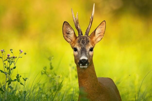 Curioso cervo olhando para a câmera em um prado de verão com grama verde