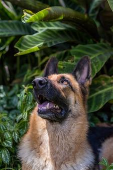 Curioso feliz olha para cima, cão pastor alemão, isolado