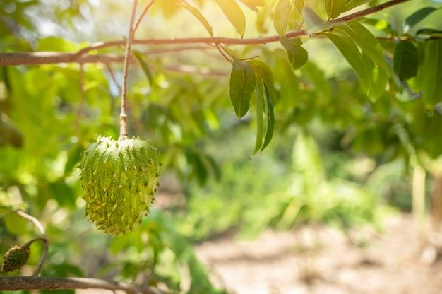 Custard apple fruit on treesugar apple sweetop anon annona squamosa