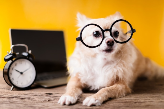Cute chihuahua brown color dog wear black round glasses with laptop and black alarmclock