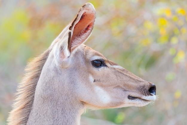 Cute, elegante, kudu, femininas, cabeça, fim, cima, e, retrato