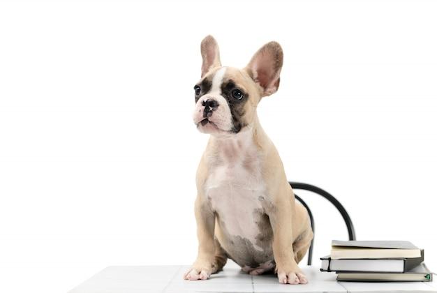Cute little bulldog francês sentado com o livro na mesa