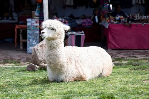 Cute pequeno bebê alpaca
