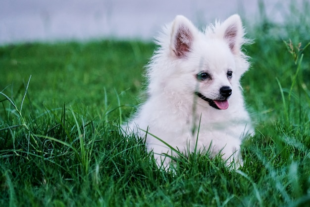 Cute, pequeno, cão branco, sentando, em, a, capim