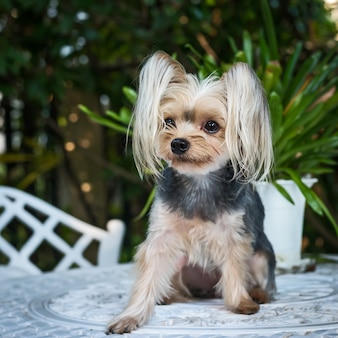 Cute pequeno yorkshire terrier