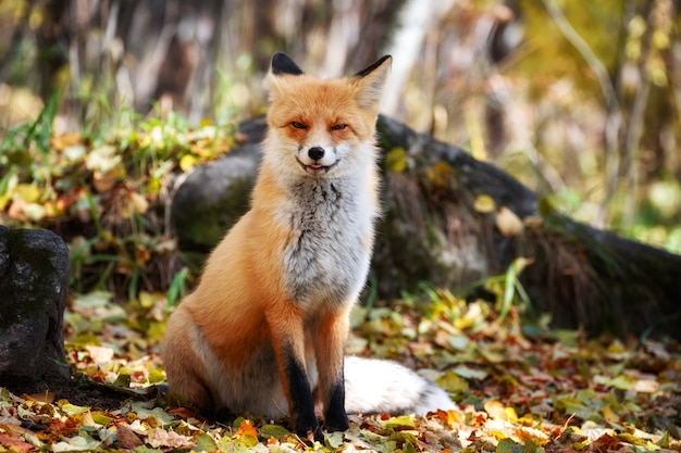 Cute red fox, vulpes vulpes, na floresta verde. caça à raposa na floresta. animal no habitat natural.