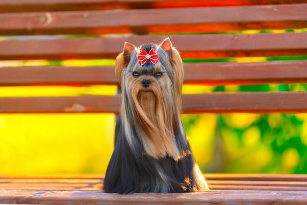 Cute, yorkshire terrier, cão, jogando dentro, a, jarda