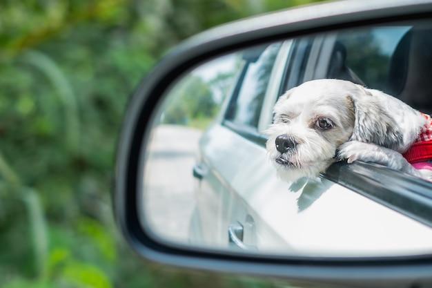 Cutely white short hair cachorro shih tzu no espelho do carro olhando pela janela