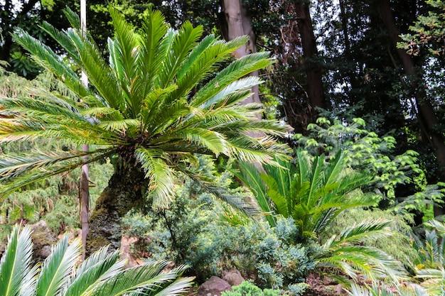 Cycas revoluta (sagu palm, king sagu, sagu cycad, sagu palm do japão) no jardim botânico
