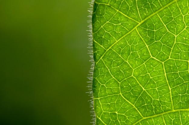 Cyclea barbata myers ou folha de cincau, em foco raso com fundo desfocado