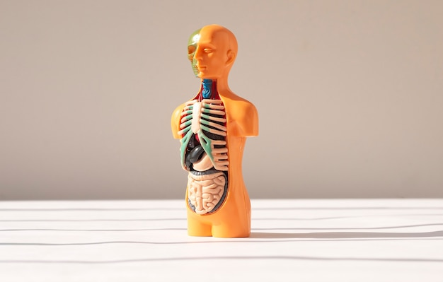 D modelo humano com órgãos internos dentro do conceito anatômico médico