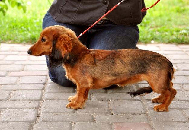 Dachshund cão de cabelos compridos ficar na coleira