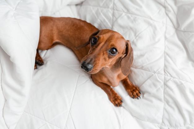 Dachshund está deitado na cama. manta de algodão branco, espaço para texto