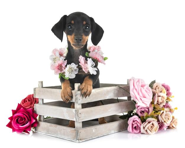 Dachshund miniatura de cachorro