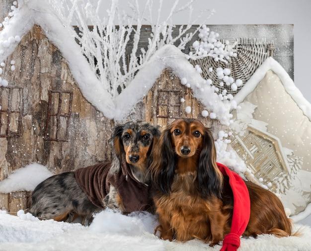 Dachshunds em frente a um cenário de natal