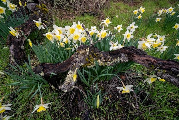 Daffodils da mamãe
