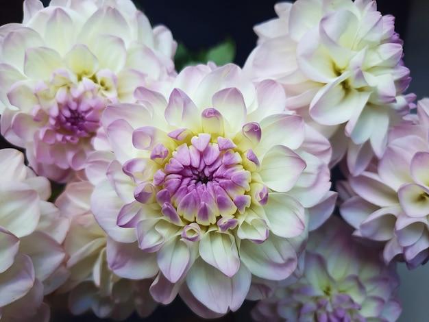 Dahlia pinnata, flor de perto