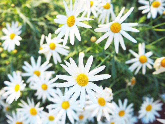 Daisy camomile field blossom concept