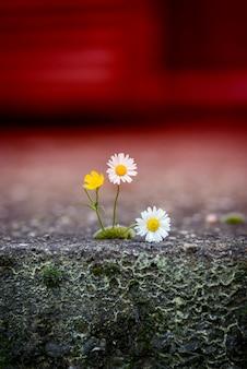 Daisy no chão rachado