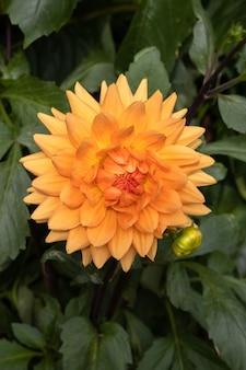 Dália laranja grande florescendo em um jardim em berrynarbor