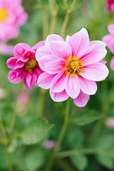 Dália rosa floresce no jardim de verão