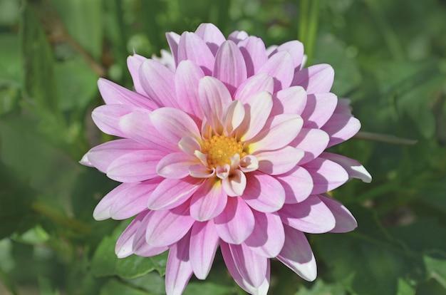 Dália rosa florescendo
