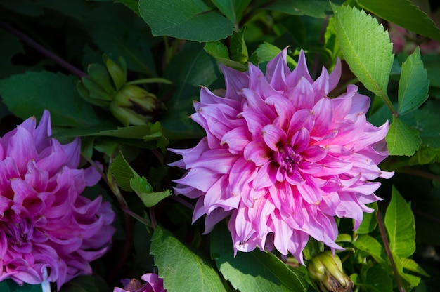 Dália rosa linda