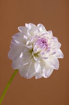 Dália ternura branca close-up tiro macro vista de fundo floral suave