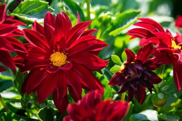 Dálias arnhem vermelhas sobre fundo verde jardinagem e paisagismo