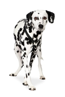Dálmata com 7 anos. retrato de cachorro isolado