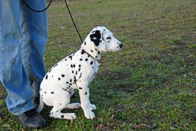 Dálmata de filhote de cachorro em uma ligação