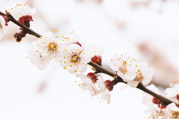 Damasco florescendo com flores brancas
