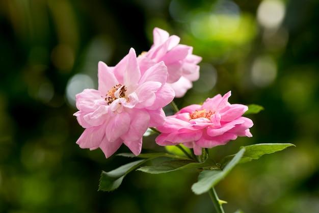 Damasco rosa, flor rosa que floresce no jardim e.