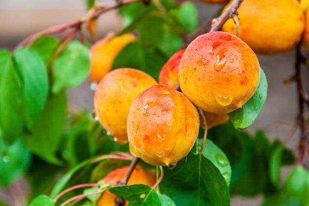 Damascos orgânicos frescos maduros com gotas de água em um galho de árvore.