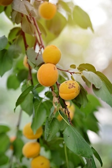 Damascos saborosos doces suculentos maduros em um galho de árvore no verão.