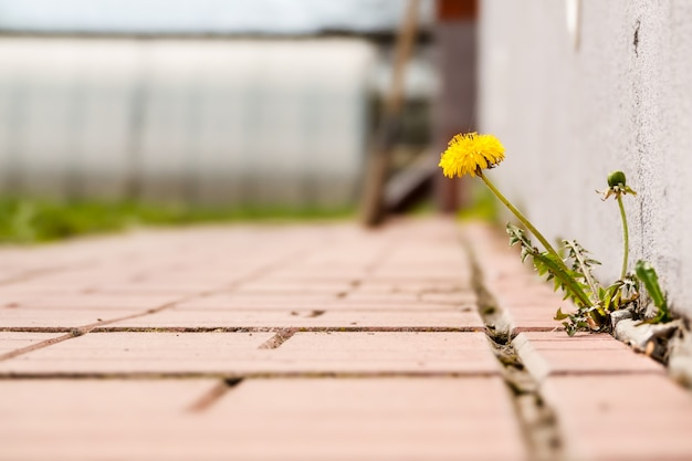 Dandelion com flor crescendo em uma calçada de crack