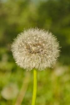 Dandelion com sementes.